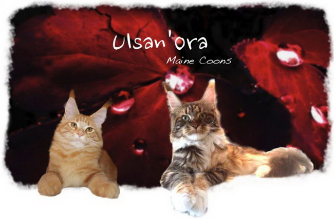BE_MAINE-COON_UlsanOra_650