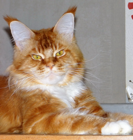BE_MAINE-COON_goldValey_1