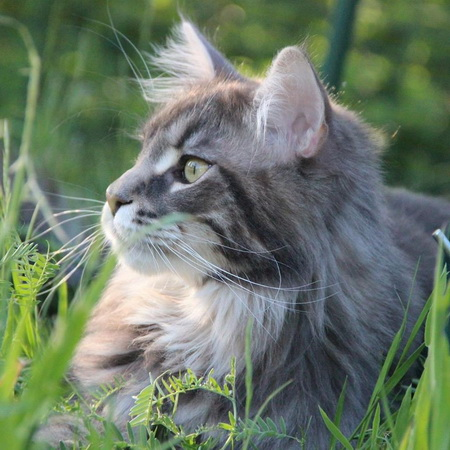 BE_MAINE-COON_macLyGiants