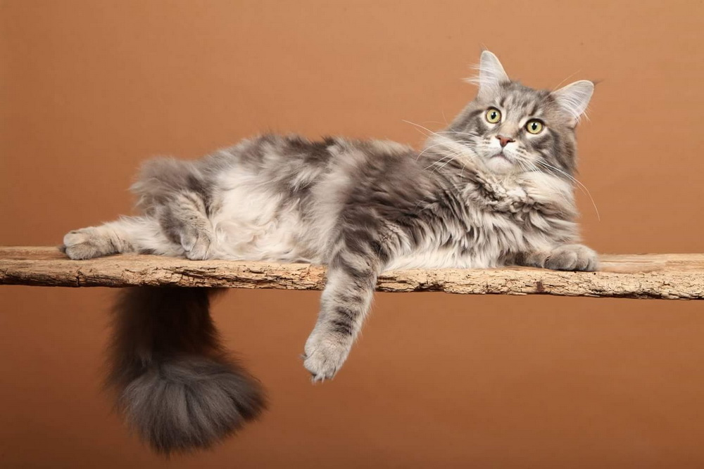 BE_MAINE-COON_macLyGiants3