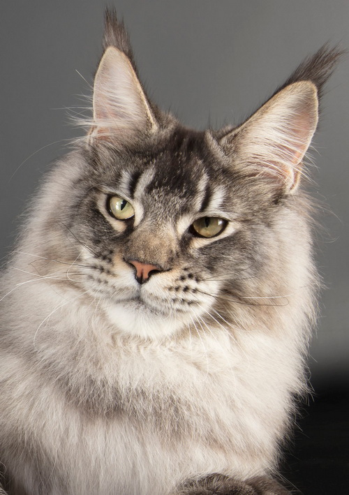 BE_MAINECOON_CATSCOON_COPPENS