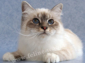 Birman Bleu Tabby point