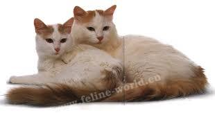 Turkish_Van_5